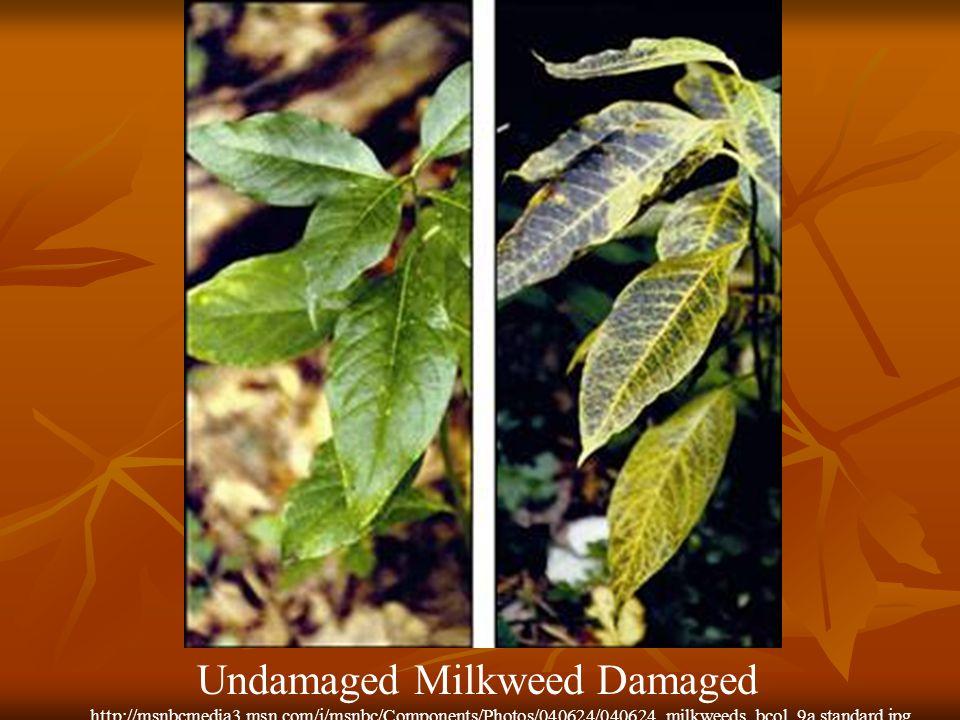 Undamaged Milkweed Damaged http://msnbcmedia3.msn.com/j/msnbc/Components/Photos/040624/040624_milkweeds_bcol_9a.standard.jpg