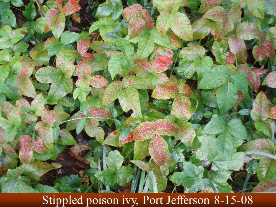 Stippled poison ivy, Port Jefferson 8-15-08