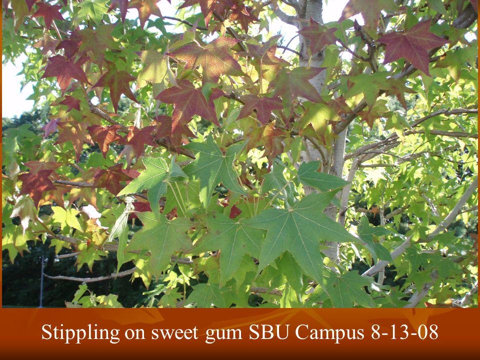 Stippling on sweet gum SBU Campus 8-13-08