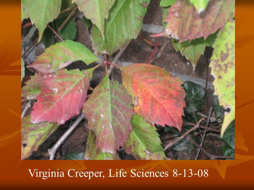 Virginia Creeper, Life Sciences 8-13-08