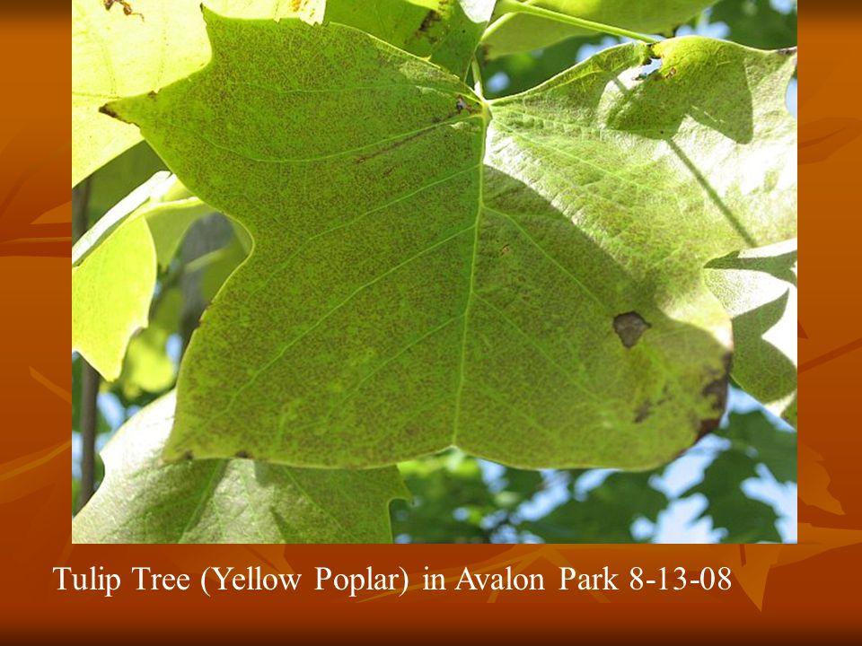 Tulip Tree (Yellow Poplar) in Avalon Park 8-13-08