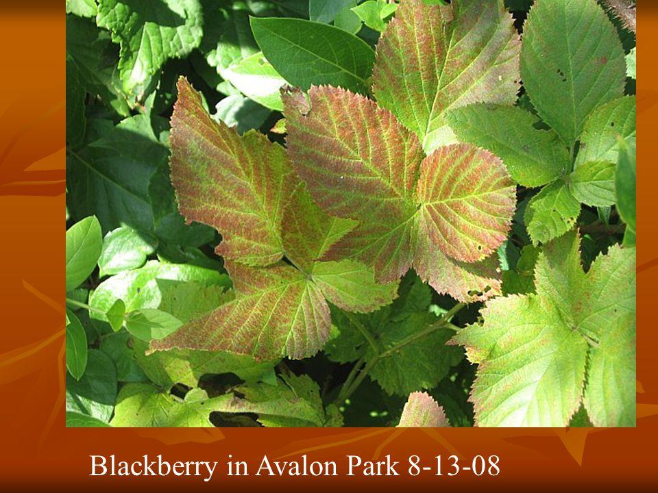 Blackberry in Avalon Park 8-13-08