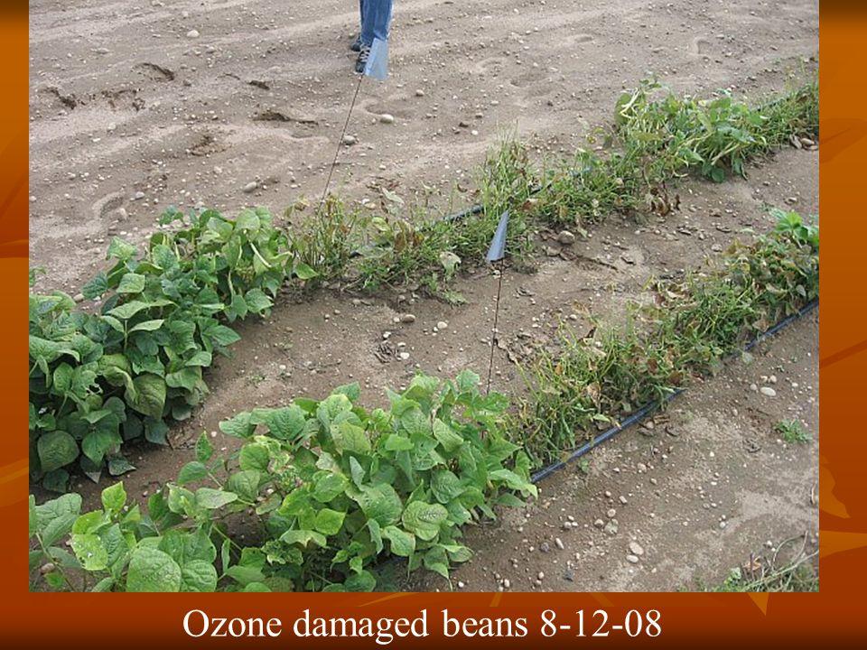 Ozone damaged beans 8-12-08