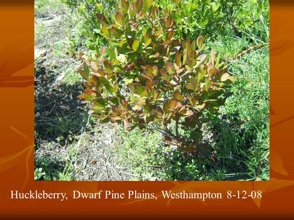 Huckleberry, Dwarf Pine Plains, Westhampton 8-12-08