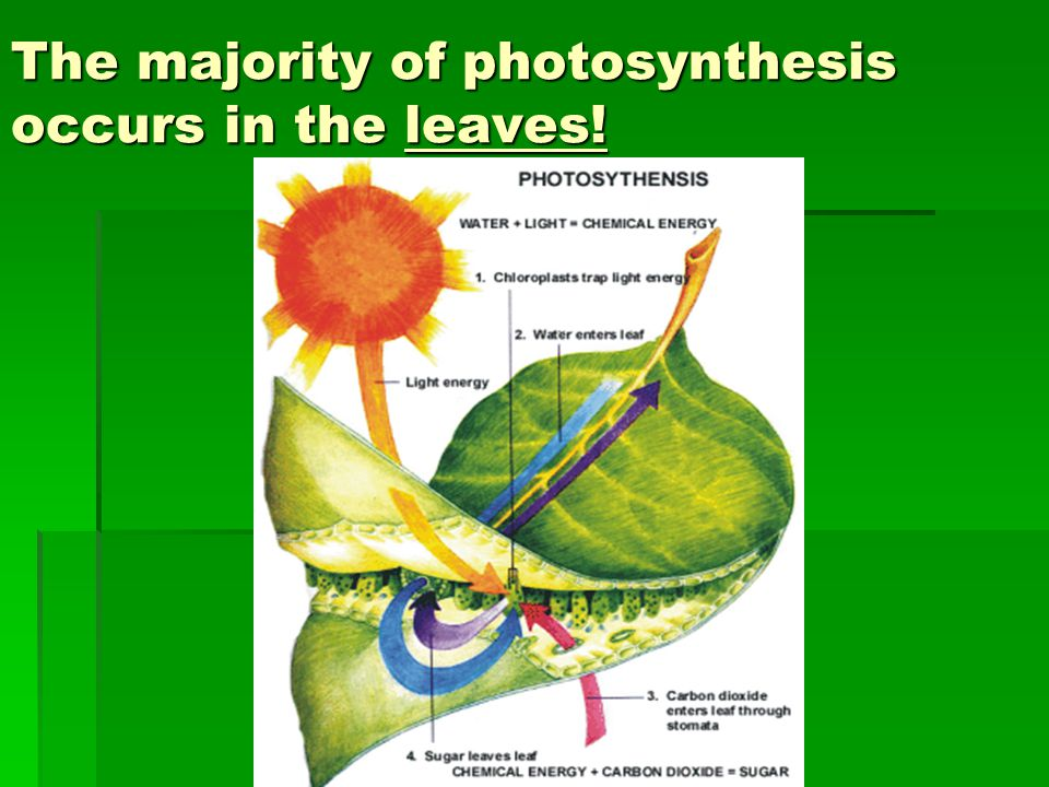 The majority of photosynthesis occurs in the leaves!