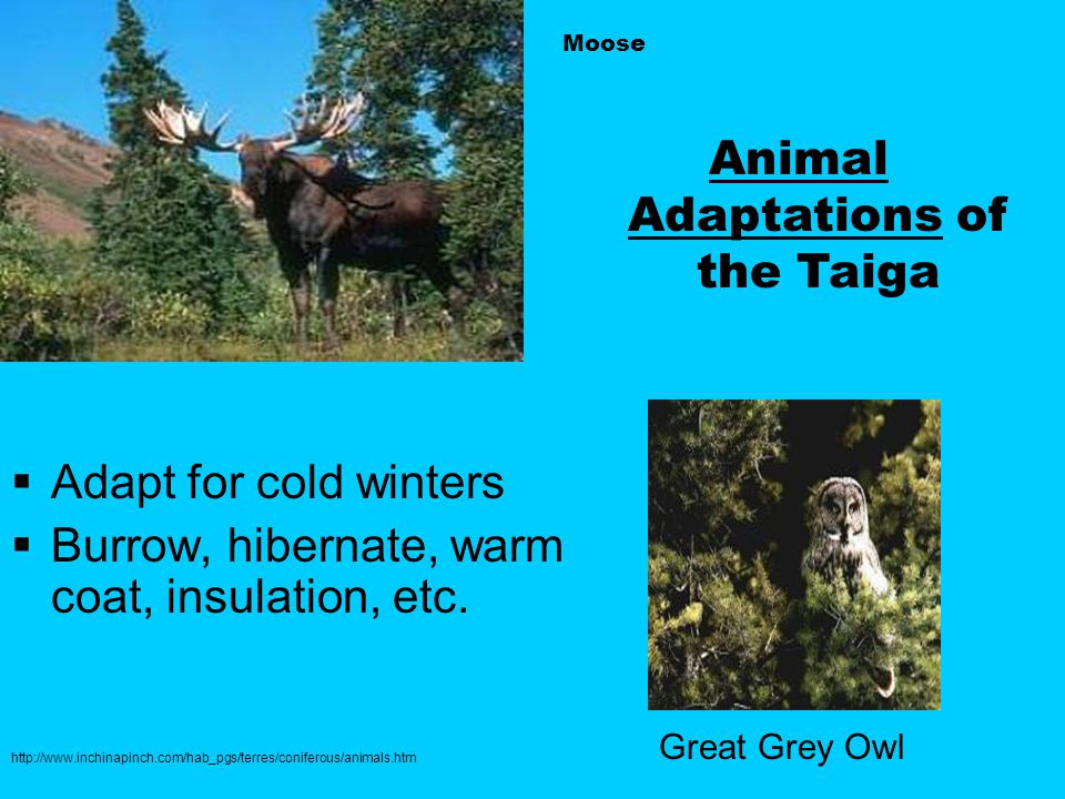 Moose  Adapt for cold winters  Burrow, hibernate, warm coat, insulation, etc.