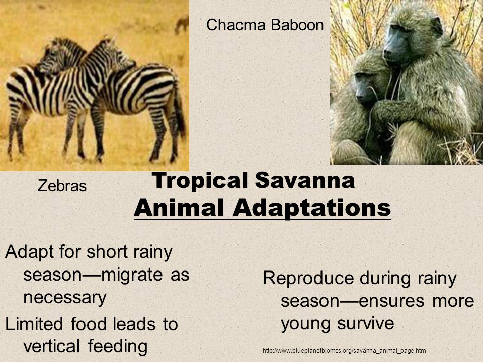 Adapt for short rainy season—migrate as necessary Limited food leads to vertical feeding Reproduce during rainy season—ensures more young survive http://www.blueplanetbiomes.org/savanna_animal_page.htm Zebras Chacma Baboon Tropical Savanna Animal Adaptations