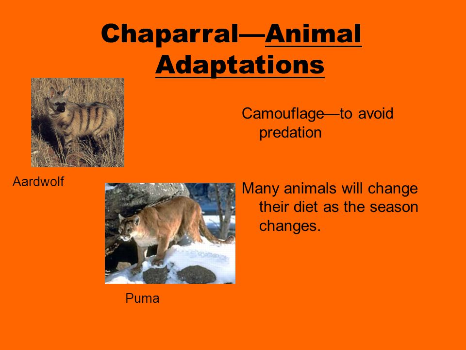 Chaparral—Animal Adaptations Camouflage—to avoid predation Many animals will change their diet as the season changes.