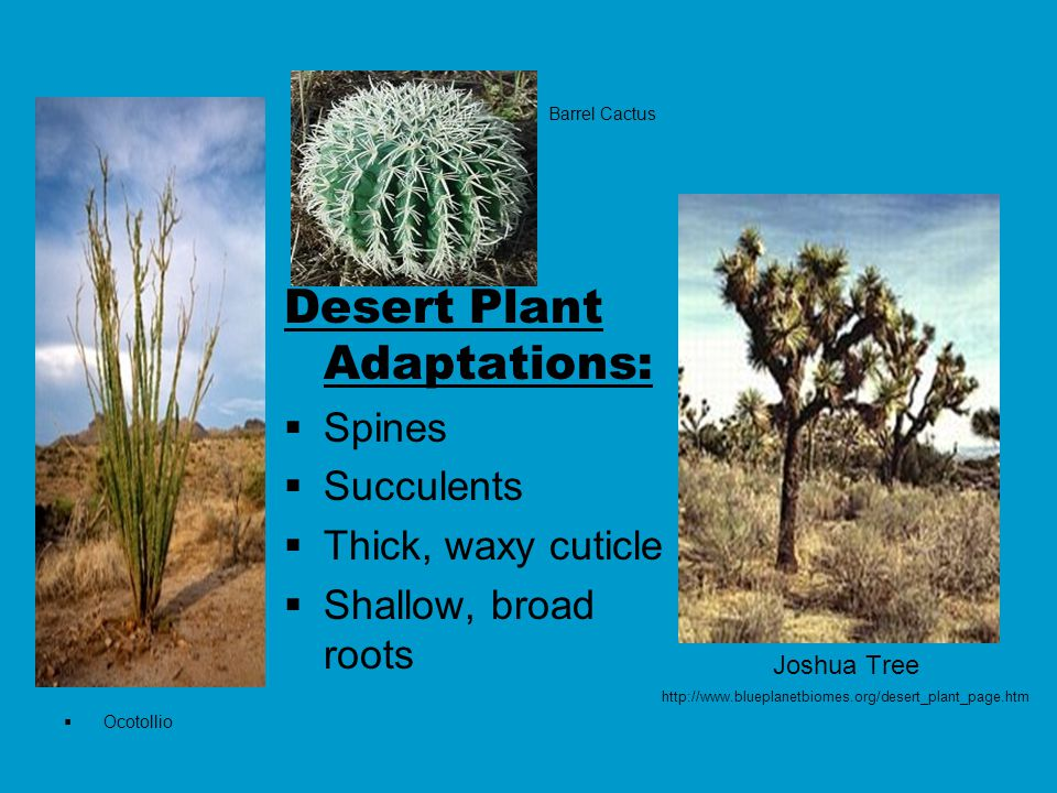 Joshua Tree http://www.blueplanetbiomes.org/desert_plant_page.htm Desert Plant Adaptations:  Spines  Succulents  Thick, waxy cuticle  Shallow, broad roots Barrel Cactus  Ocotollio