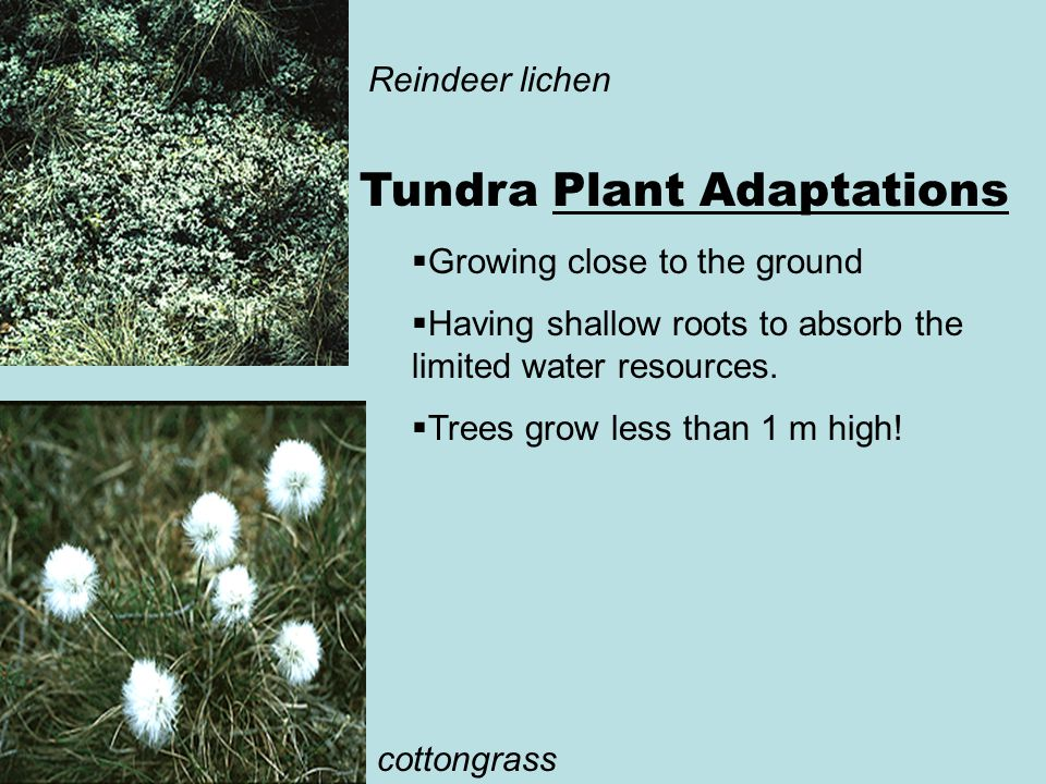 Tundra Plant Adaptations  Growing close to the ground  Having shallow roots to absorb the limited water resources.