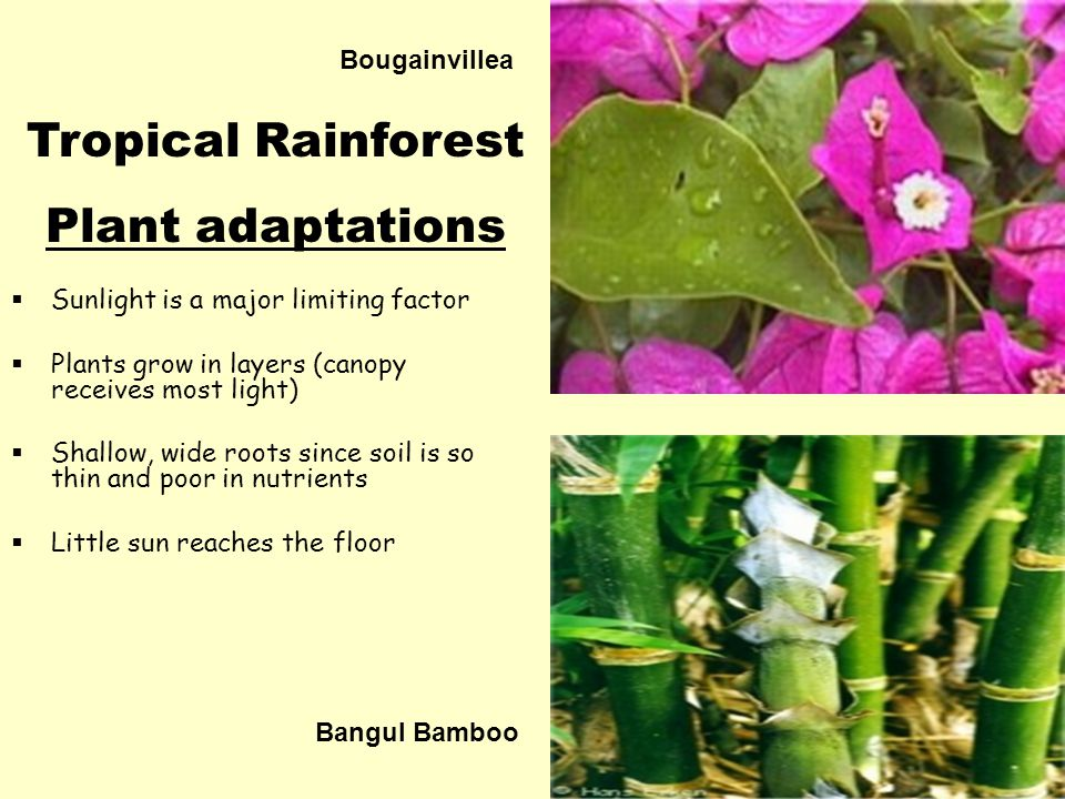 Bougainvillea  Sunlight is a major limiting factor  Plants grow in layers (canopy receives most light)  Shallow, wide roots since soil is so thin and poor in nutrients  Little sun reaches the floor Tropical Rainforest Plant adaptations Bangul Bamboo