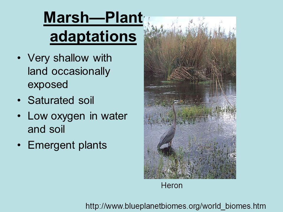 Marsh—Plant adaptations Very shallow with land occasionally exposed Saturated soil Low oxygen in water and soil Emergent plants http://www.blueplanetbiomes.org/world_biomes.htm Heron