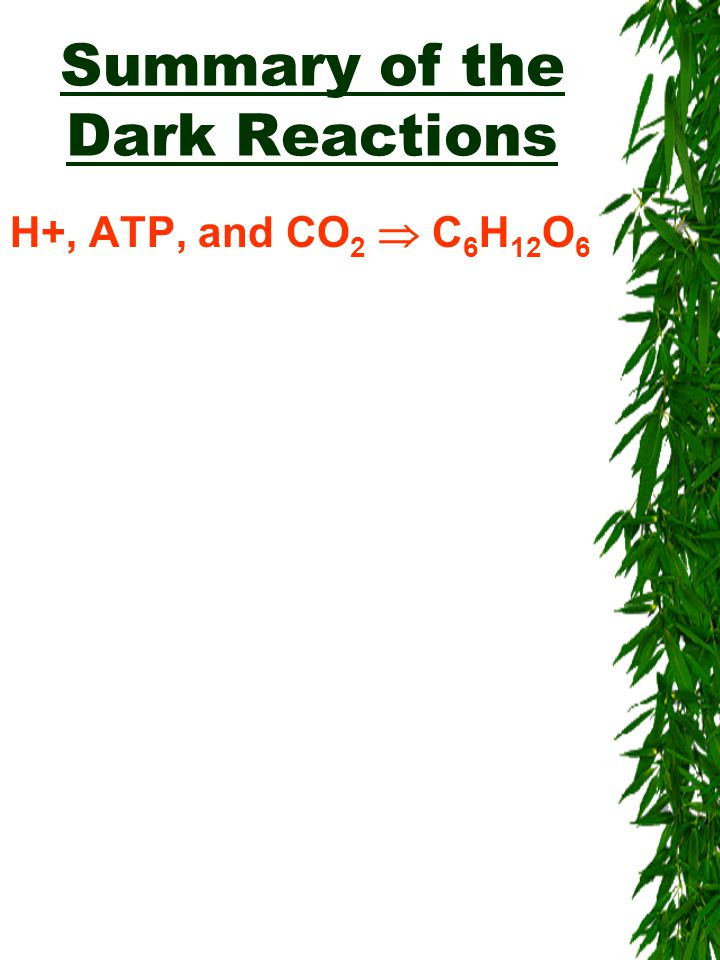 Summary of the Dark Reactions H+, ATP, and CO 2  C 6 H 12 O 6