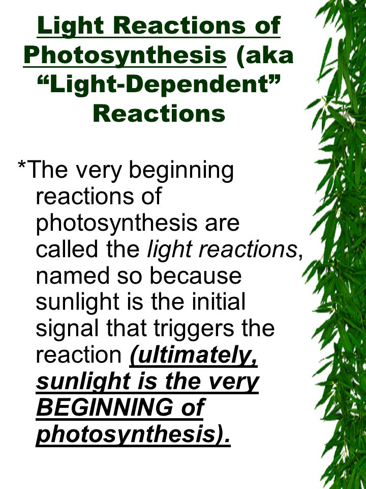 Light Reactions of Photosynthesis (aka Light-Dependent Reactions *The very beginning reactions of photosynthesis are called the light reactions, named so because sunlight is the initial signal that triggers the reaction (ultimately, sunlight is the very BEGINNING of photosynthesis).