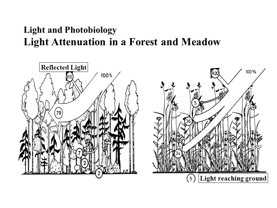 Light and Photobiology Light Attenuation in a Forest and Meadow Light reaching ground Reflected Light