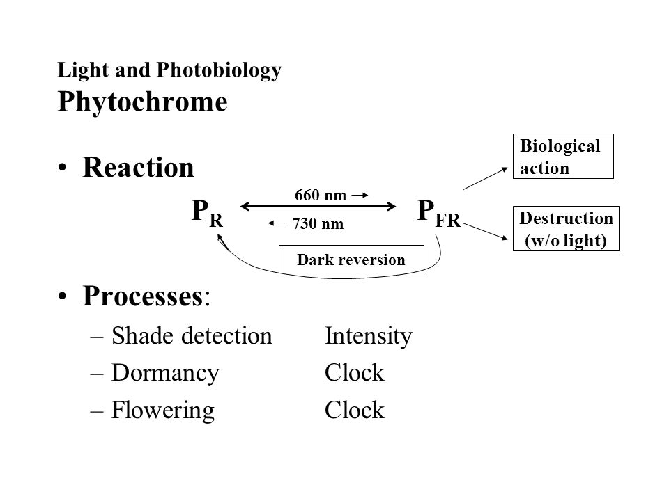 Light and Photobiology Phytochrome Reaction P R P FR Processes: –Shade detectionIntensity –DormancyClock –FloweringClock 660 nm 730 nm Biological action Destruction (w/o light) Dark reversion