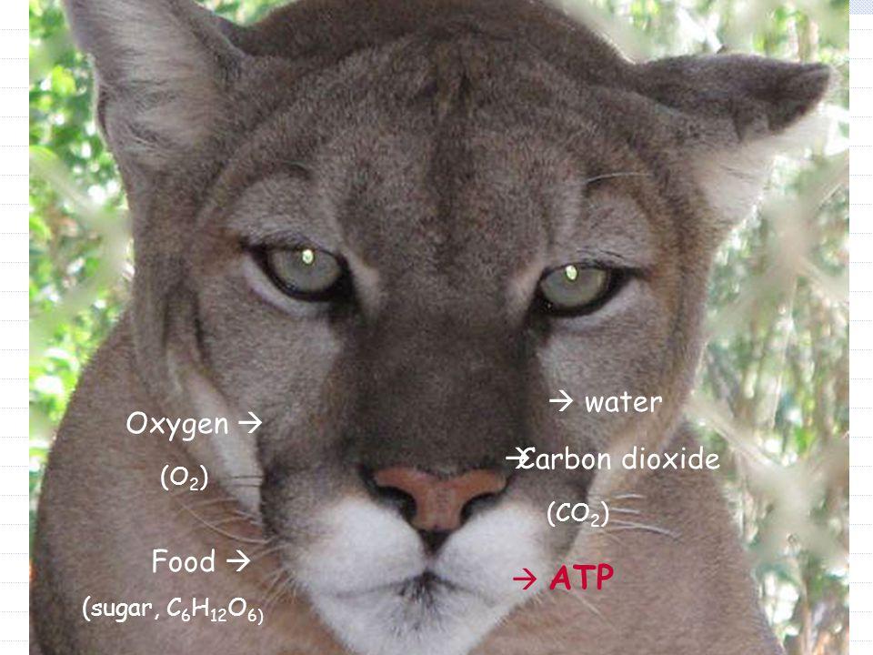 Oxygen  (O 2 ) Food  (sugar, C 6 H 12 O 6)  ATP  water  Carbon dioxide (CO 2 )
