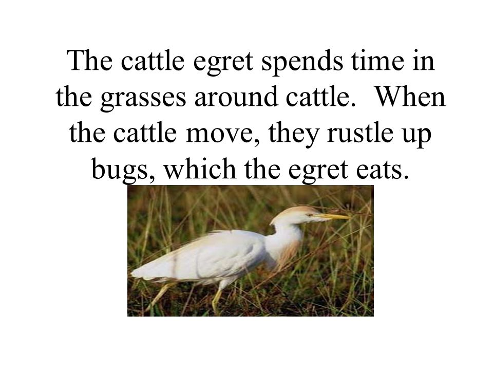 The cattle egret spends time in the grasses around cattle.