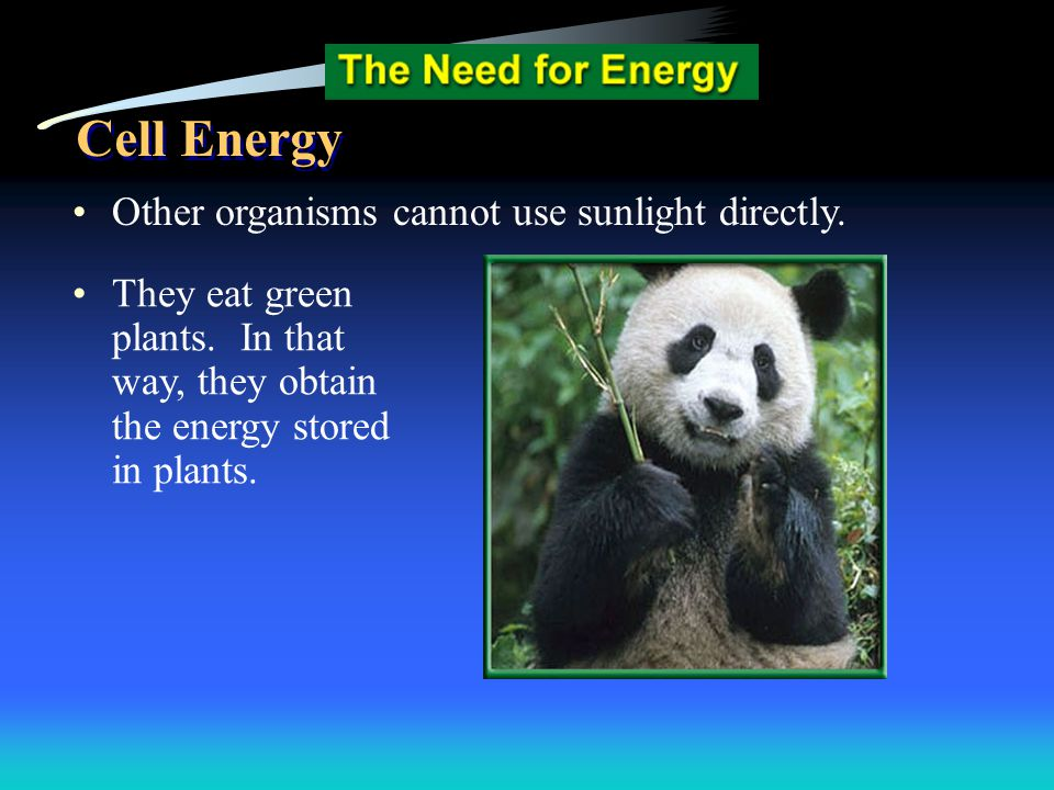 Other organisms cannot use sunlight directly. They eat green plants. In that way, they obtain the energy stored in plants. Cell Energy