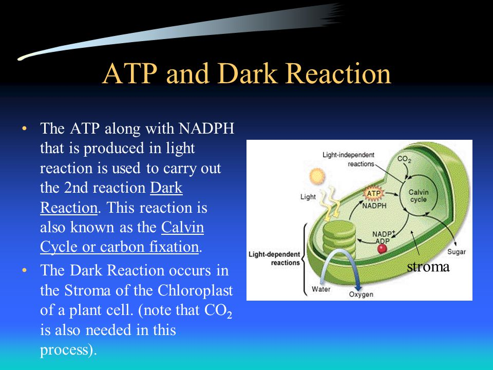 ATP and Dark Reaction The ATP along with NADPH that is produced in light reaction is used to carry out the 2nd reaction Dark Reaction. This reaction i