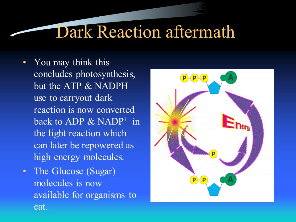 Dark Reaction aftermath You may think this concludes photosynthesis, but the ATP & NADPH use to carryout dark reaction is now converted back to ADP &