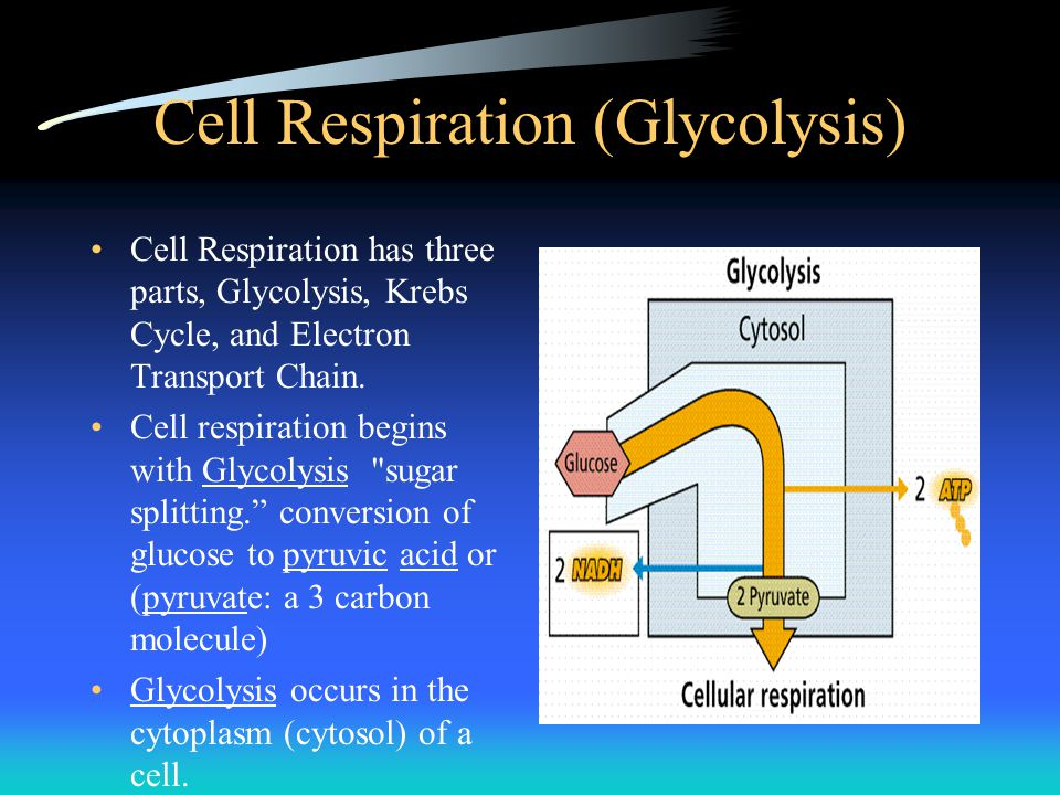 Cell Respiration (Glycolysis) Cell Respiration has three parts, Glycolysis, Krebs Cycle, and Electron Transport Chain. Cell respiration begins with Gl