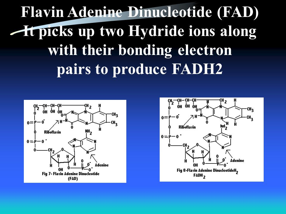 Flavin Adenine Dinucleotide (FAD) It picks up two Hydride ions along with their bonding electron pairs to produce FADH2