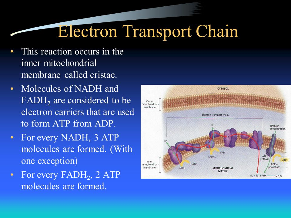 Electron Transport Chain This reaction occurs in the inner mitochondrial membrane called cristae. Molecules of NADH and FADH 2 are considered to be el