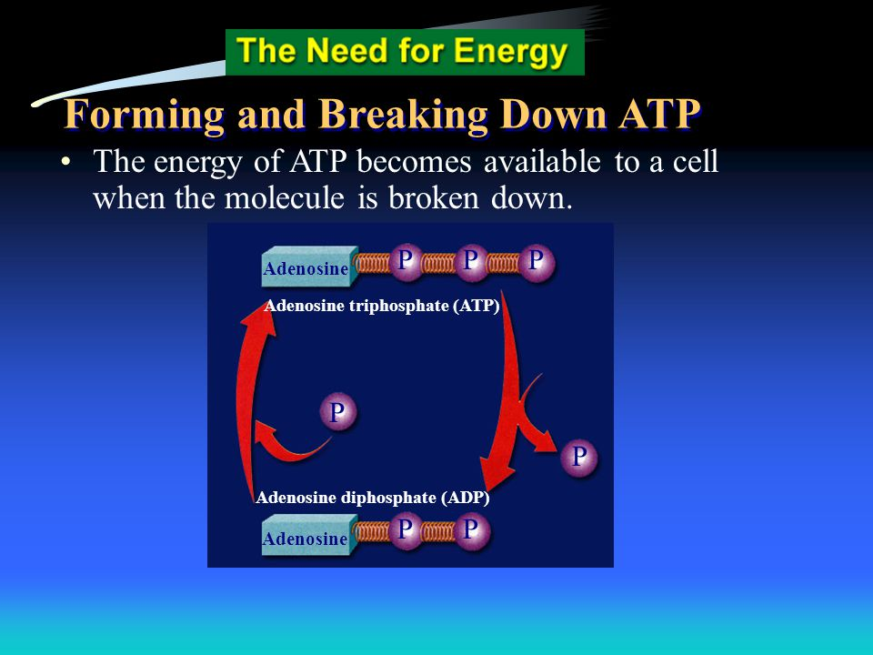 The energy of ATP becomes available to a cell when the molecule is broken down. Adenosine PPP P P PP Adenosine triphosphate (ATP) Adenosine diphosphat