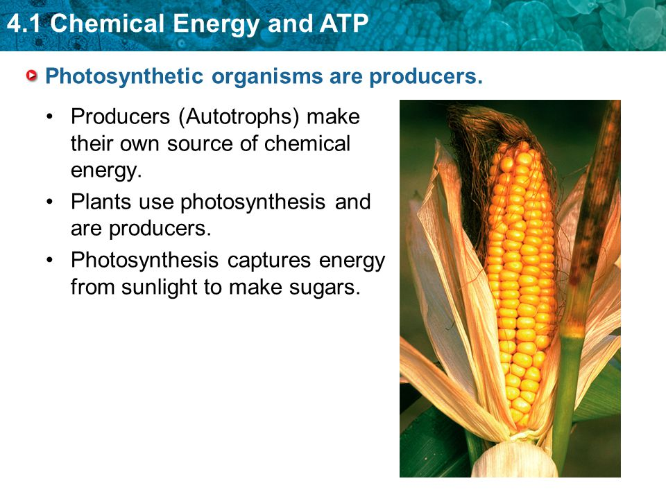 4.1 Chemical Energy and ATP Photosynthetic organisms are producers. Producers (Autotrophs) make their own source of chemical energy. Plants use photos