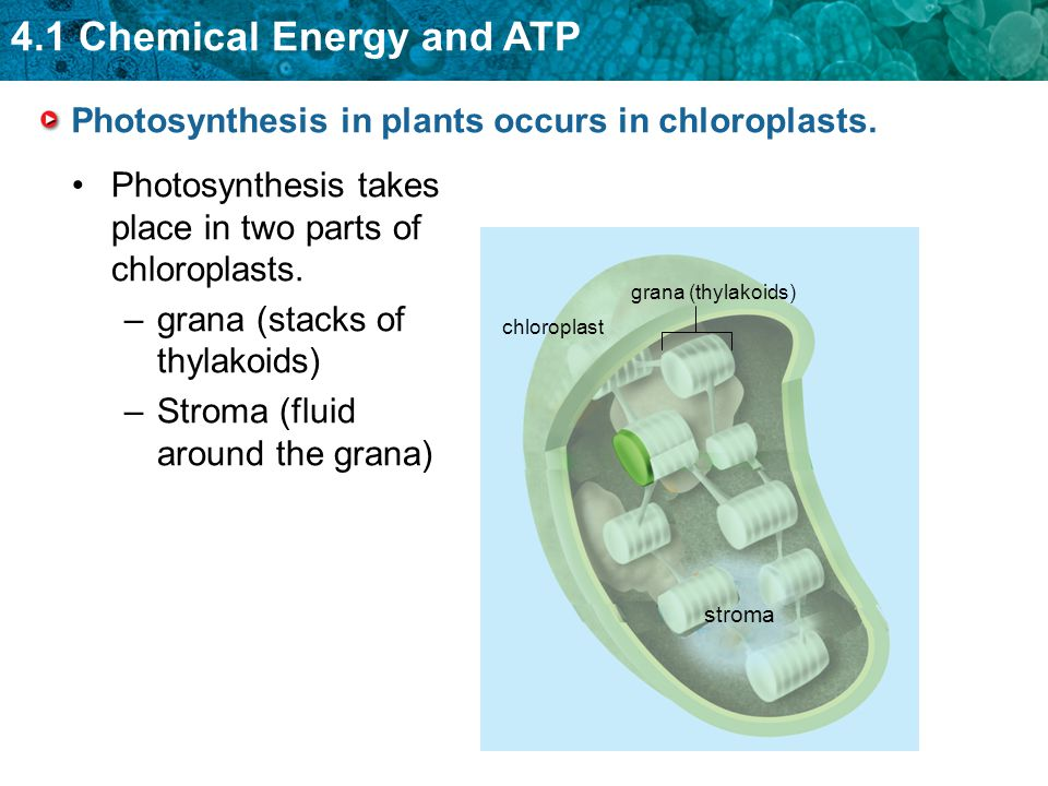 4.1 Chemical Energy and ATP Photosynthesis in plants occurs in chloroplasts.
