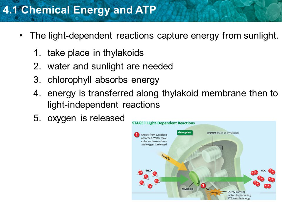4.1 Chemical Energy and ATP The light-dependent reactions capture energy from sunlight.