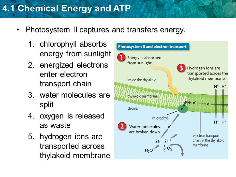 4.1 Chemical Energy and ATP Photosystem II captures and transfers energy. 1.chlorophyll absorbs energy from sunlight 2.energized electrons enter elect