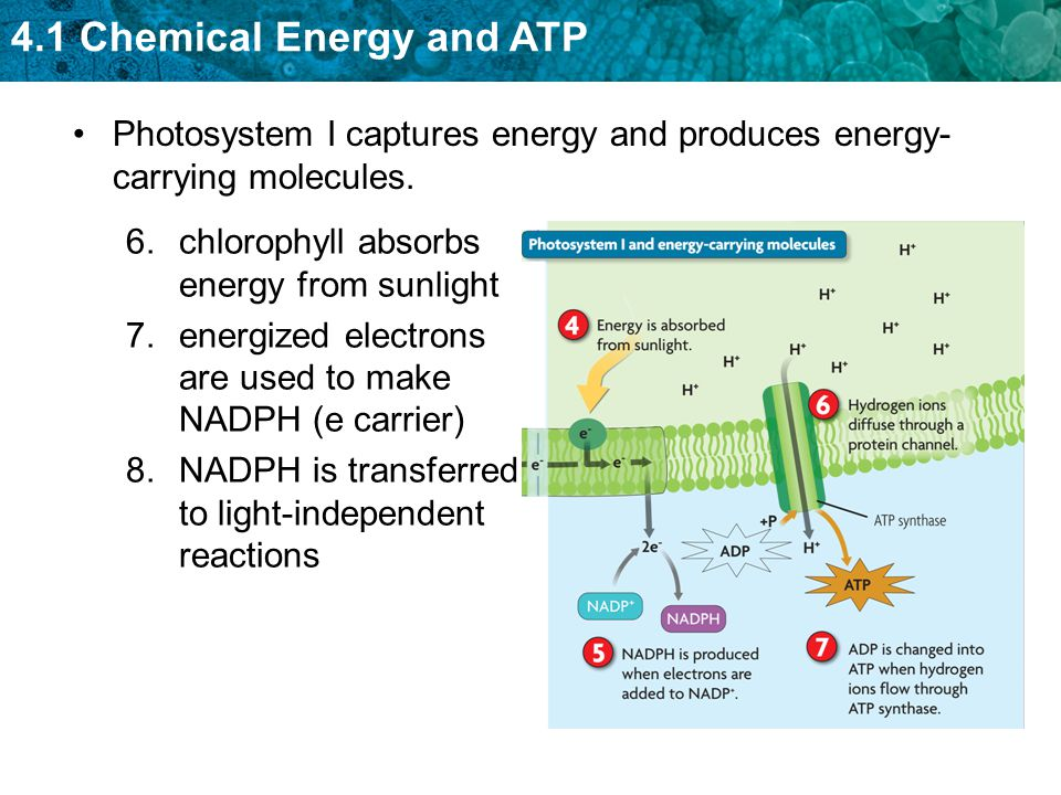 4.1 Chemical Energy and ATP Photosystem I captures energy and produces energy- carrying molecules. 6.chlorophyll absorbs energy from sunlight 7.energi