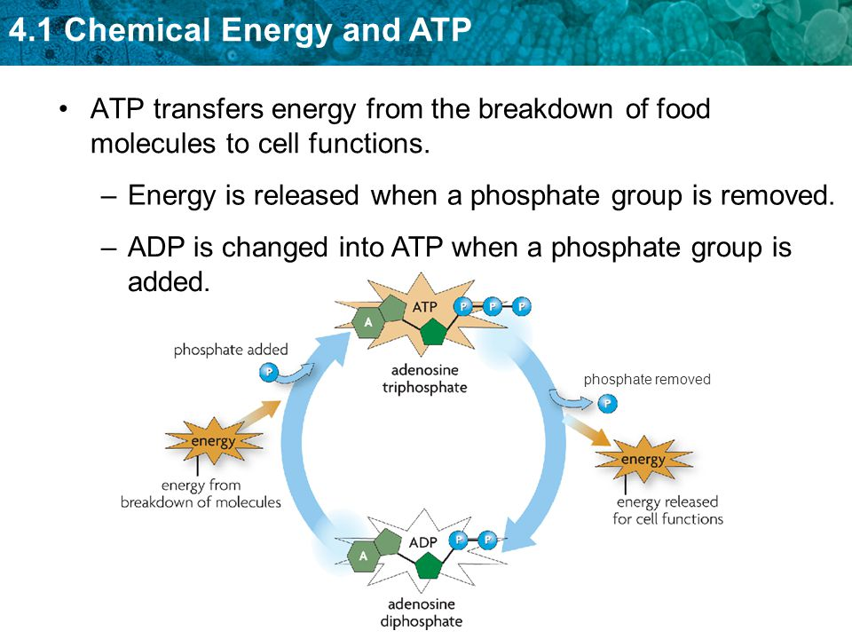 4.1 Chemical Energy and ATP phosphate removed ATP transfers energy from the breakdown of food molecules to cell functions. –Energy is released when a
