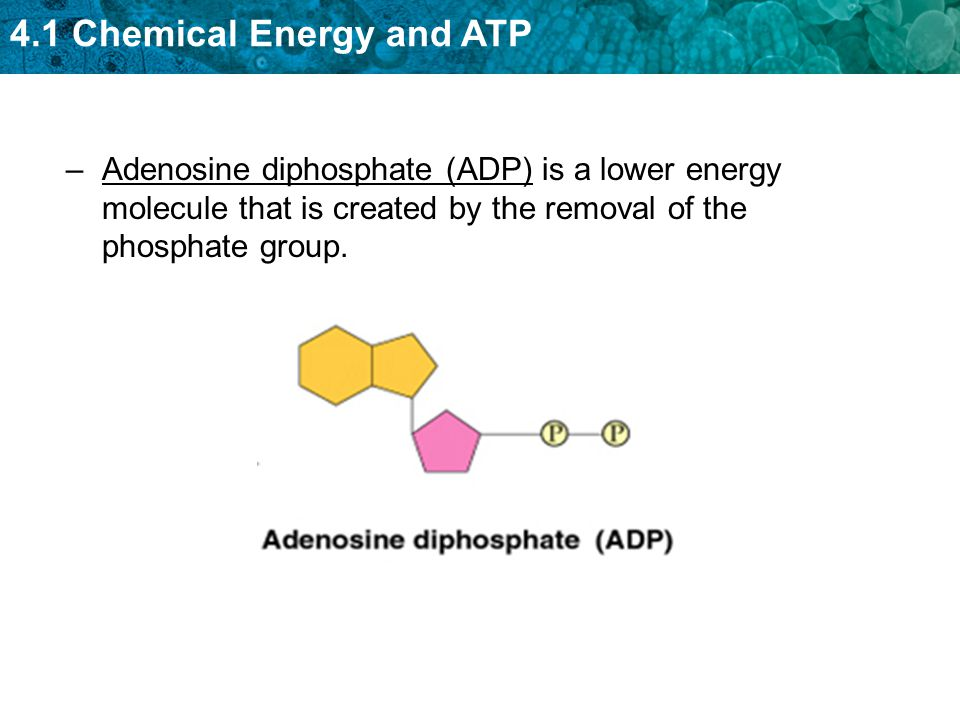 4.1 Chemical Energy and ATP –Adenosine diphosphate (ADP) is a lower energy molecule that is created by the removal of the phosphate group.