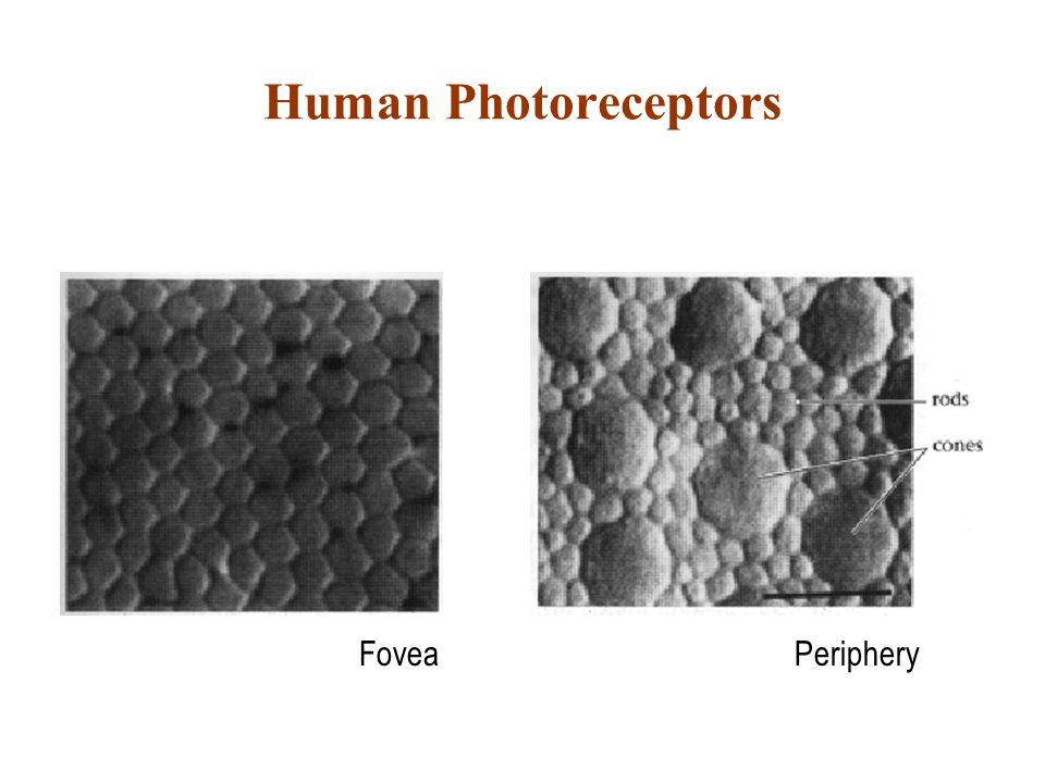 Human Photoreceptors FoveaPeriphery