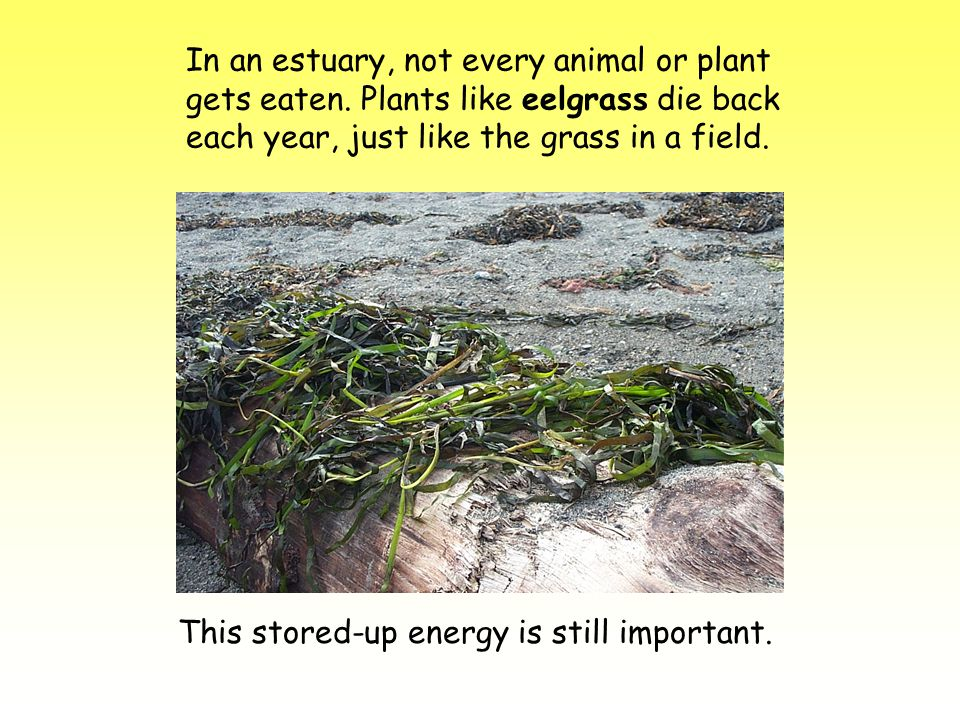In an estuary, not every animal or plant gets eaten. Plants like eelgrass die back each year, just like the grass in a field. This stored-up energy is