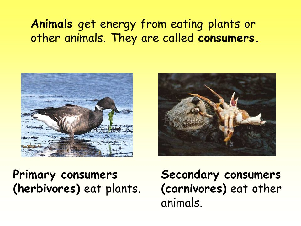 Animals get energy from eating plants or other animals. They are called consumers. Primary consumers (herbivores) eat plants. Secondary consumers (car