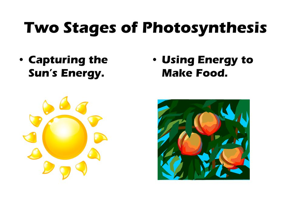 Two Stages of Photosynthesis Capturing the Sun's Energy. Using Energy to Make Food.