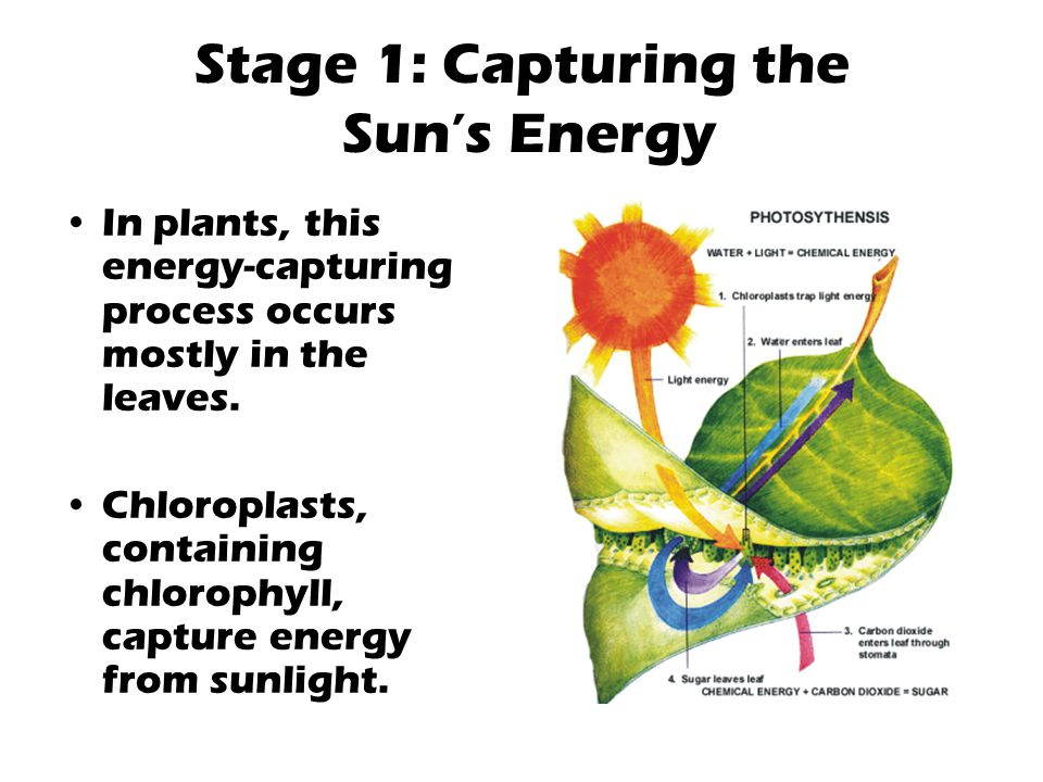 Stage 1: Capturing the Sun's Energy In plants, this energy-capturing process occurs mostly in the leaves. Chloroplasts, containing chlorophyll, captur