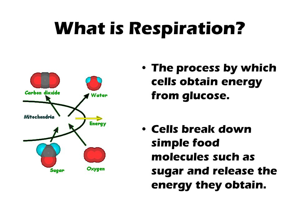 What is Respiration? The process by which cells obtain energy from glucose. Cells break down simple food molecules such as sugar and release the energ