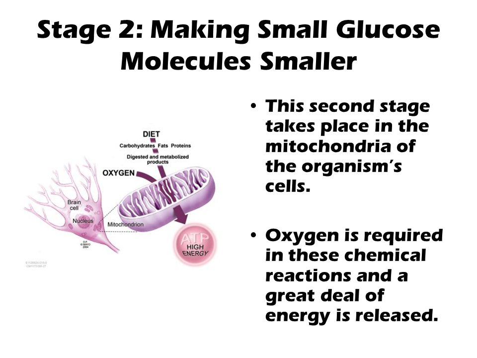 Stage 2: Making Small Glucose Molecules Smaller This second stage takes place in the mitochondria of the organism's cells. Oxygen is required in these