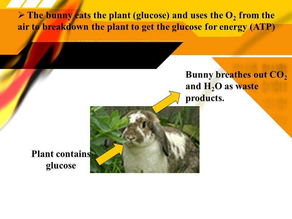 Plant contains glucose  The bunny eats the plant (glucose) and uses the O 2 from the air to breakdown the plant to get the glucose for energy (ATP) Bunny breathes out CO 2 and H 2 O as waste products.