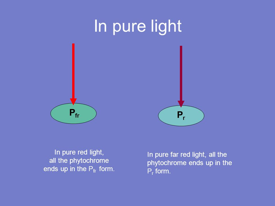 PrPr In pure light P fr In pure far red light, all the phytochrome ends up in the P r form.