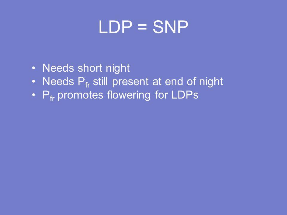 LDP = SNP Needs short night Needs P fr still present at end of night P fr promotes flowering for LDPs