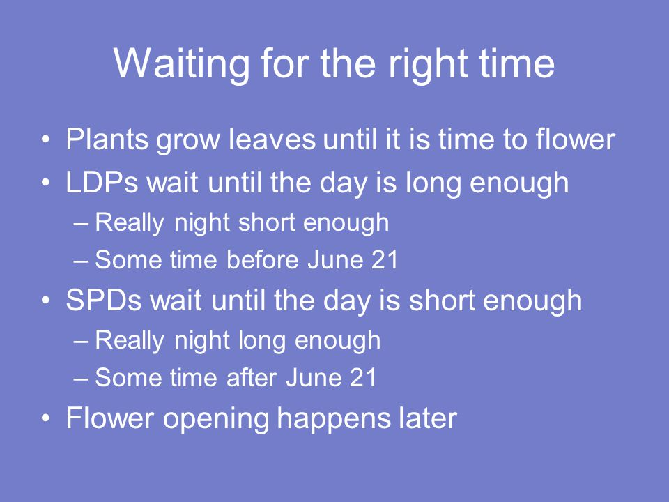 Waiting for the right time Plants grow leaves until it is time to flower LDPs wait until the day is long enough –Really night short enough –Some time before June 21 SPDs wait until the day is short enough –Really night long enough –Some time after June 21 Flower opening happens later