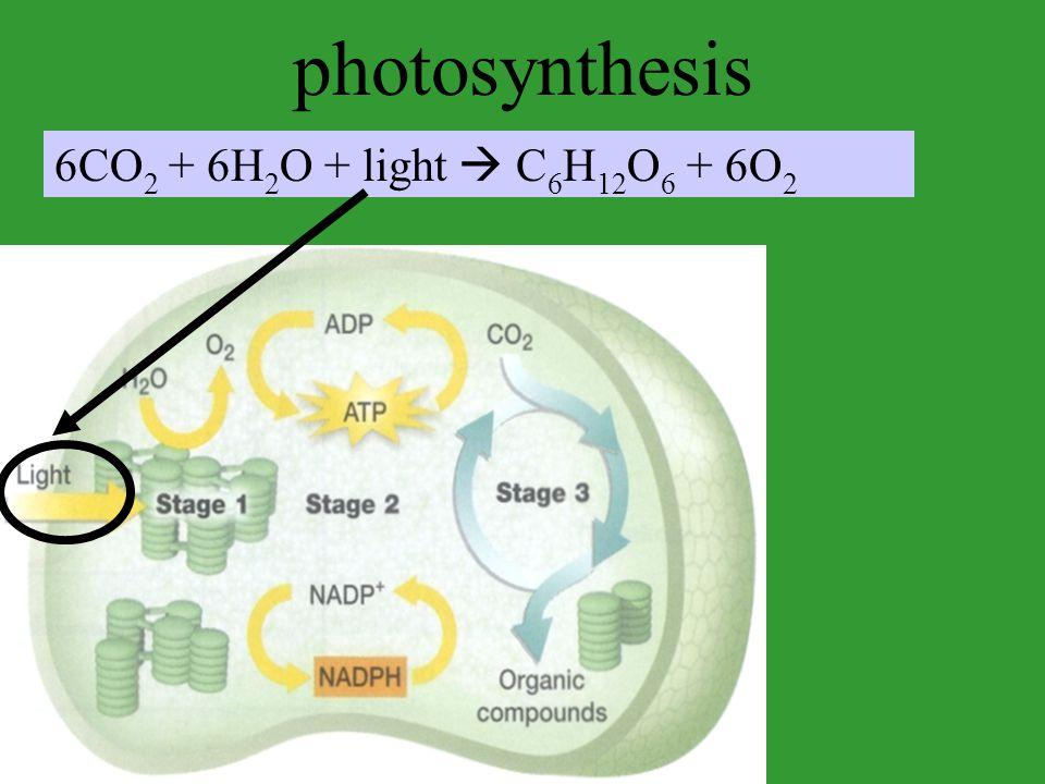 photosynthesis 6CO 2 + 6H 2 O + light  C 6 H 12 O 6 + 6O 2