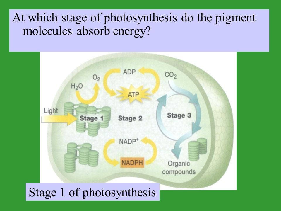 At which stage of photosynthesis do the pigment molecules absorb energy? Stage 1 of photosynthesis