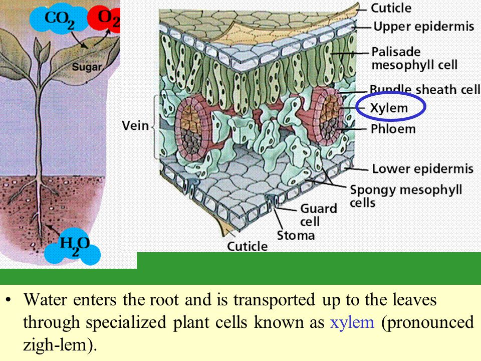 Water enters the root and is transported up to the leaves through specialized plant cells known as xylem (pronounced zigh-lem).